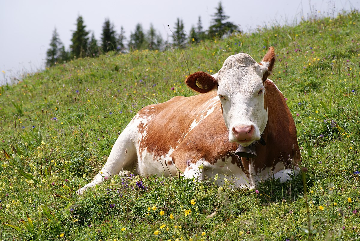 One Cow Set To Be Sold At N2M In Lagos